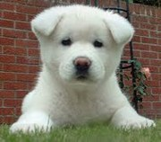 Akita Puppies for adoption