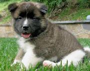 Adorable Akita Puppies For A Good Home.