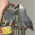 African Grey Parrot Both Male and Female