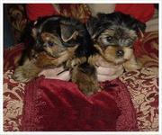 Lovely yorkie puppies ready to go for adoption